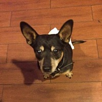 Adopt A Pet :: ZZ-Tubby *courtesy post - Rancho Santa Margarita, CA