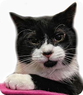 Domestic Shorthair Cat for adoption in Wayne, New Jersey - Earnestine