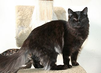 Domestic Longhair Kitten for adoption in Santa Rosa, California - Vivaldi