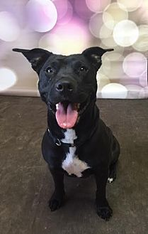 Labrador Retriever/Mixed Breed (Medium) Mix Dog for adoption in Philadelphia, Pennsylvania - Sophie