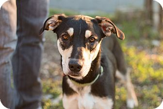 Shepherd (Unknown Type) Mix Dog for adoption in Los Angeles, California - Maddow