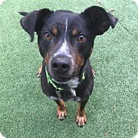 Adopt A Pet :: Roscoe - Harrison, NY