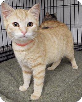 Domestic Shorthair Kitten for adoption in Lincolnton, North Carolina - Jasmine $20