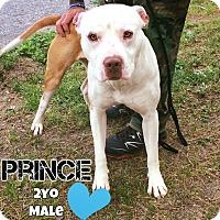 Adopt A Pet :: Prince - Jackson, NJ