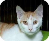 Domestic Shorthair Cat for adoption in Sacramento, California - Nelson M