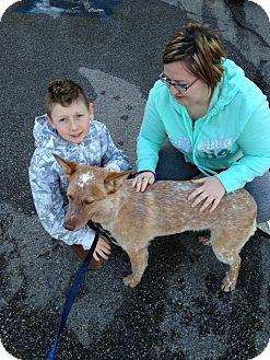 Australian Cattle Dog Dog for adoption in Ogden, Utah - Beux Bear