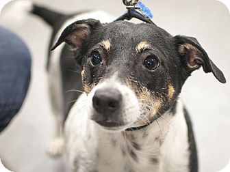 Rat Terrier Mix Dog for adoption in Las Vegas, Nevada - Buster
