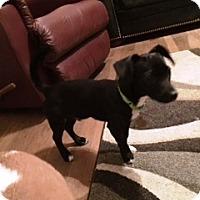Adopt A Pet :: Tux - Richmond, VA