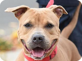 American Pit Bull Terrier Mix Dog for adoption in New Haven, Connecticut - KATE