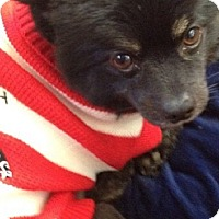 Adopt A Pet :: LITTLE BEAR - Van Nuys, CA