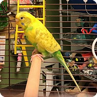 Adopt A Pet :: Tweety Bird - Lenexa, KS
