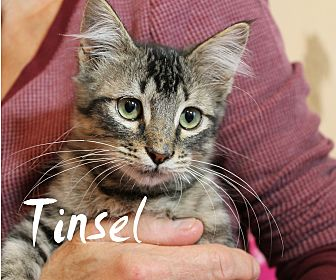 Domestic Shorthair Kitten for adoption in Wichita Falls, Texas - Tinsel