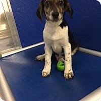 Adopt A Pet :: Sammy - Cashiers, NC