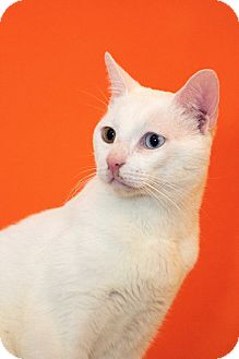 Domestic Shorthair Cat for adoption in Los Angeles, California - Catpuccino