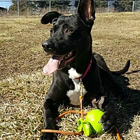 Shepherd (Unknown Type)/Labrador Retriever Mix Dog for adoption in Northville, Michigan - Hannah Banana