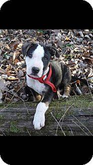 Mastiff/Australian Shepherd Mix Puppy for adoption in Aurora, Colorado - Rafi