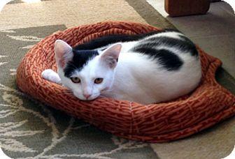 Domestic Shorthair Cat for adoption in Durham, North Carolina - Nike
