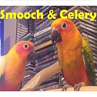 Adopt A Pet :: 2 Sweet Conures Celery&Smooch - Vancouver, WA