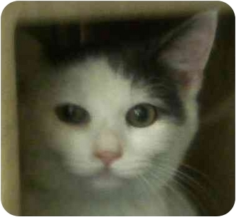 Domestic Shorthair Cat for adoption in Annapolis, Maryland - Harmony