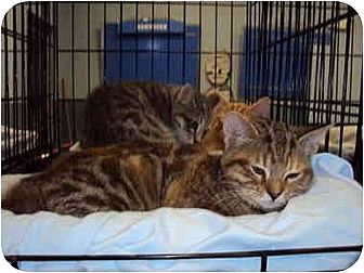 Domestic Shorthair Cat for adoption in Sterling Heights, Michigan - Fudge Ripple