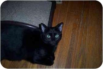 Domestic Shorthair Cat for adoption in Vails Gate, New York - Gavin/Garrett