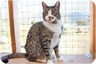 Domestic Shorthair Cat for adoption in San Fernando Valley, California - Milo