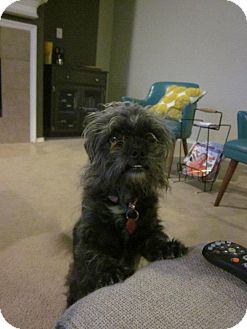 Brussels Griffon/Terrier (Unknown Type, Small) Mix Dog for adoption in Arlington, Texas - Flower