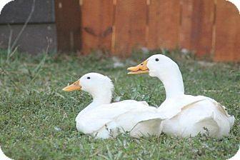 Duck for adoption in Indian Trail, North Carolina - Disabled Pekin Ducks