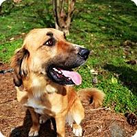 Adopt A Pet :: Apple - Windham, NH