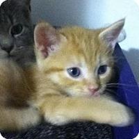 Adopt A Pet :: Bentley - Hamilton, ON