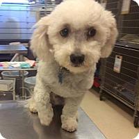Adopt A Pet :: SIMON - Higley, AZ