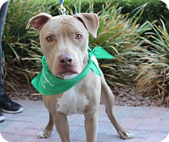 American Pit Bull Terrier Mix Dog for adoption in Las Vegas, Nevada - SARGE