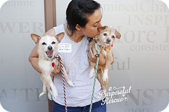 Terrier (Unknown Type, Medium)/Chihuahua Mix Dog for adoption in Los Angeles, California - Eugenia and Darla *bonded pair