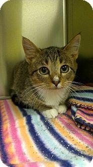 Domestic Shorthair Kitten for adoption in Richboro, Pennsylvania - Jerry Seinfeld