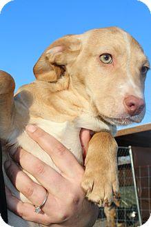 Cavalier King Charles Spaniel/Beagle Mix Puppy for adoption in Hamburg, Pennsylvania - Cricket