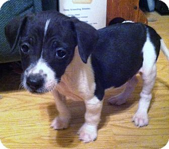 Jack Russell Terrier/Feist Mix Puppy for adoption in Indian Trail, North Carolina - Rascal