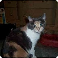 Calico Cat for adoption in North Plainfield, New Jersey - Brie