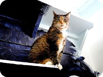 Domestic Mediumhair Cat for adoption in Belleville, Michigan - Sophie
