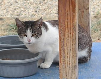 Domestic Shorthair Cat for adoption in San Pablo, California - ALYSSA