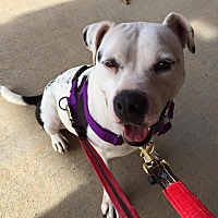 Pit Bull Terrier Mix Dog for adoption in Midlothian, Virginia - Pippin