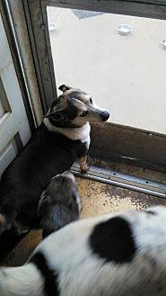 Corgi/Rat Terrier Mix Dog for adoption in Springfield, Ohio - Gidget