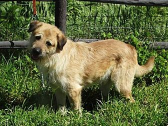 Standard Schnauzer/Wheaten Terrier Mix Dog for adoption in Vacaville, California - Chewbacca