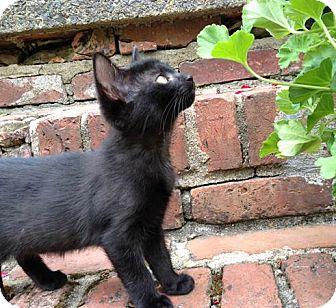 Domestic Shorthair Kitten for adoption in Gainesville, Virginia - Sweet Pea