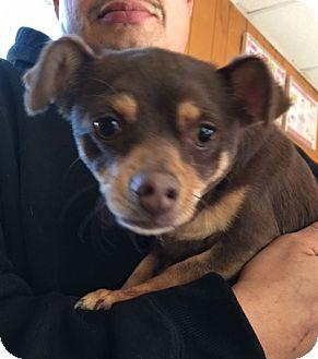 Chihuahua Mix Dog for adoption in San Pablo, California - CALI