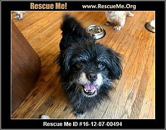 Terrier (Unknown Type, Small)/Pekingese Mix Dog for adoption in SO CALIF, California - CHEWY