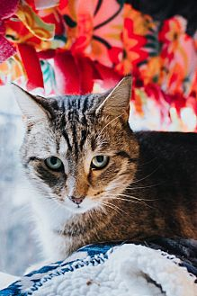 Domestic Shorthair Cat for adoption in Indianapolis, Indiana - Garf Brooks