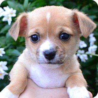 Chihuahua Mix Dog for adoption in Sunnyvale, California - Chloe