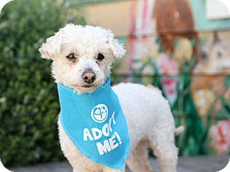 Poodle (Miniature) Mix Dog for adoption in Pacific Grove, California - Princess Poodle
