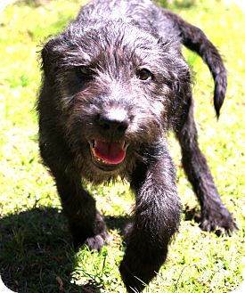 Schnauzer (Giant) Mix Puppy for adoption in Glastonbury, Connecticut - Thunder~adopted!