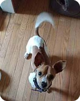 Chihuahua Dog for adoption in Chantilly, Virginia - Coque